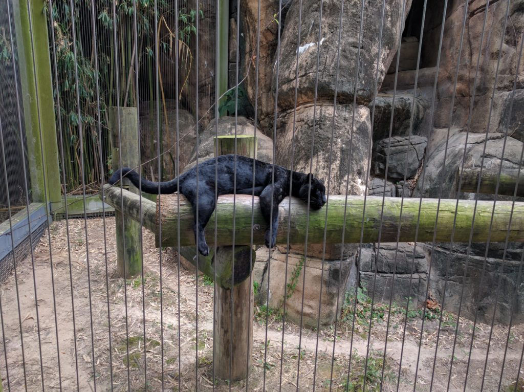 memphis zoo puma