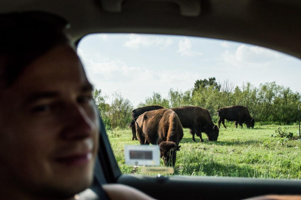 stado bizonów teksas